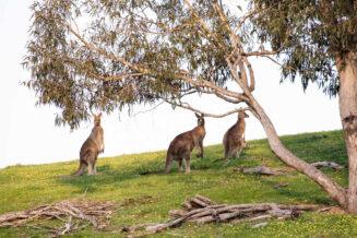 15 niesamowitych ciekawostek o kangurach