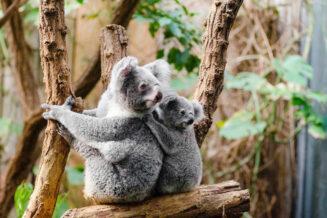 18 fascynujących ciekawostek o koalach