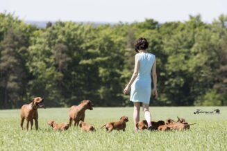 7 Ciekawostek o Afrykańskim Psie na Lwy - Rasie Rhodesian Ridgeback