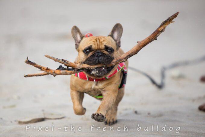 buldog francuski