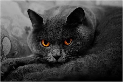 kot brytyjski krótkowłosy