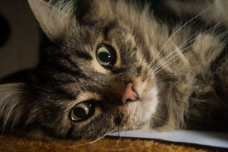 5 Ciekawostek o Norweskim Kocie Leśnym