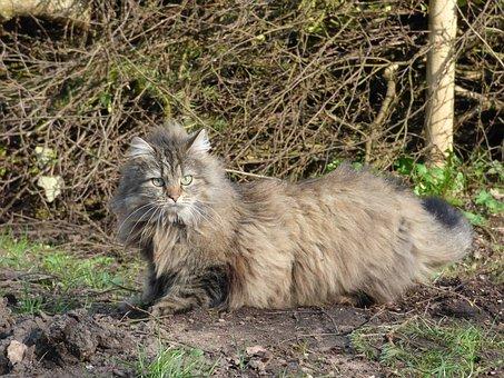 kot leśny norweski