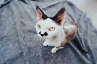 Kastracja kota krok po kroku – kiedy i jak wykastrować kota