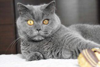 Niebieski kot brytyjski – cechy, opinie, żywienie, opieka