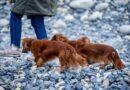 psy w Islandii